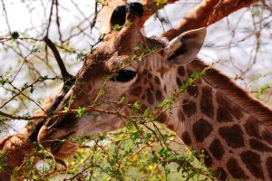Une girafe dans la nature @39zzz Pixabay
