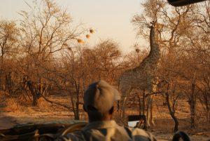 Une girafe dans la savane pendant un safari au Zimbabwe