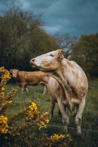 Vache dans parc de Nantes